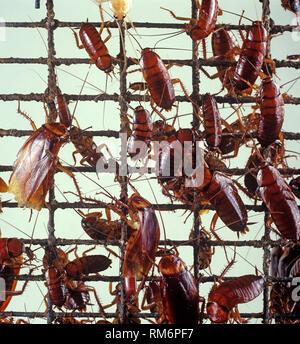 American cockroach (Periplaneta americana) a kitchen hygiene pest on wire mesh - Stock Photo