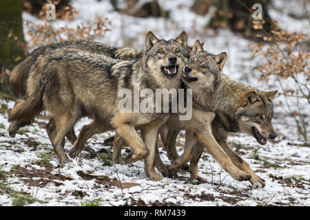 pack of wolves (canis lupus) in winter forest, neuhaus, lower saxony, germany - Stock Photo