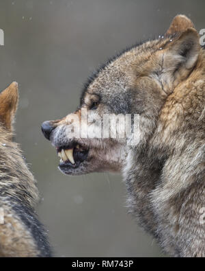 wolf (canis lupus) in winter forest, neuhaus, lower saxony, germany - Stock Photo