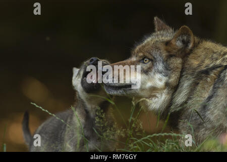 wolf (canis lupus) playing with wolf pup in summer, neuhaus, lower saxony, germany - Stock Photo