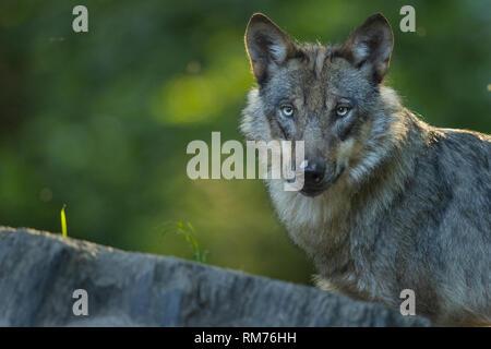 wolf (canis lupus) in summer, neuhaus, lower saxony, germany - Stock Photo
