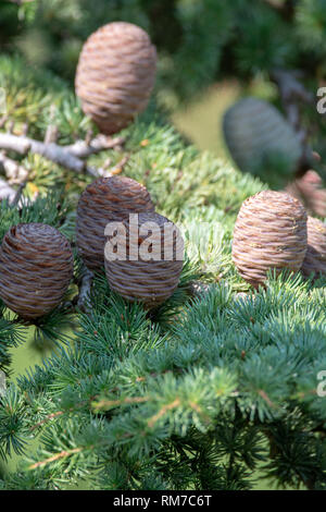 Himalayan cedar or deodar cedar tree with female cones, Christmas background close up - Stock Photo