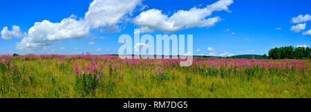 Panoramic view of bright summer meadow with blooming Fireweed or Chamaenerion angostifolium - medicinal herb on the top of hill at bright summer day w - Stock Photo
