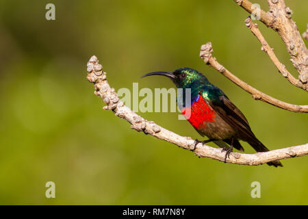 Greater double-collared sunbird (Cinnyris afra) side profile, perched in a tree, South Africa - Stock Photo