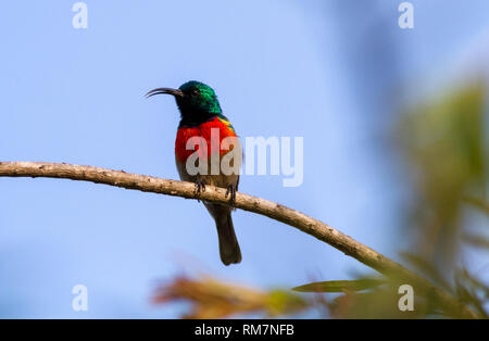 Greater double-collared sunbird (Cinnyris afra) from the front profile, perched in a tree singing, South Africa - Stock Photo