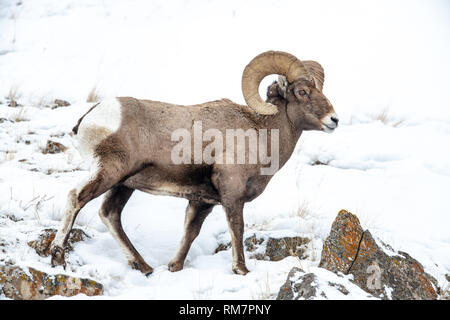 Bighorn sheep (Ovis canadensis) in Yellowstone's winter snow - Stock Photo