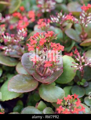 Kalanchoe blossfeldiana Poelln, Flaming Katy, Christmas Kalanchoe. Herbaceous with red flowers. - Stock Photo