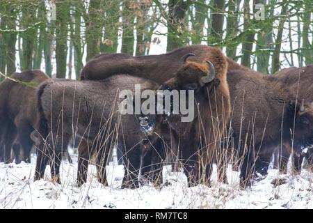 European bison group - Stock Photo