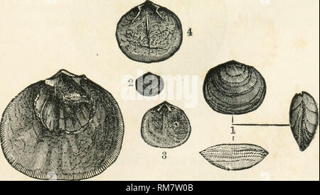. Annual report of the Regents of the University on the condition of the State Cabinet of Natural History, with catalogues of the same. State Cabinet of Natural History (N. Y. ); Science; Museums. PALiEOZOIC FOSSILS. Orthis oblata (new species). Palaeontology of NeAv-York, Vol. Hi, pi. 10, f. 1 - 14. Shell (in the young state) longitudinally subovate, and varying from circular to transversely oval in its stages of growth, re- sujDinate : ventral valve convex at the beak, flattened in the middle, and convex towards the front; dorsal valve very convex in the middle and toTsrards the beak; beaks  - Stock Photo
