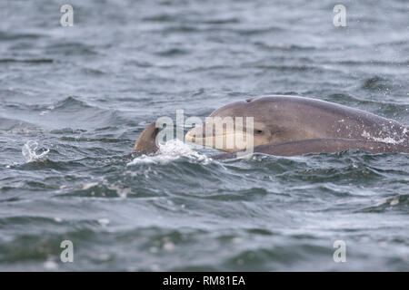 Juvenile bottlenose dolphin (Tursiops truncatus) surfacing next to its mum in the Moray Firth, Chanonry Point, Scotland, UK - Stock Photo