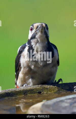 Portrait of a great spotted woodpecker (dendrocopos major) perched on a bird bath - Stock Photo