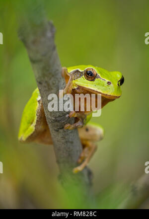 Nice green European tree frog, Hyla arborea, sitting on stick in Czech Republic - Stock Photo
