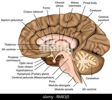 Human brain anatomy 3d vector illustration on white background - Stock Photo