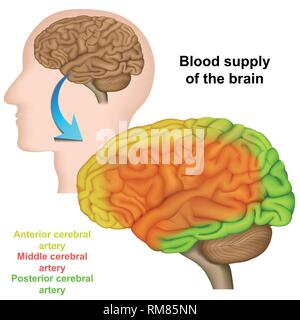 blood supply of the human brain ,medical vector illustration - Stock Photo
