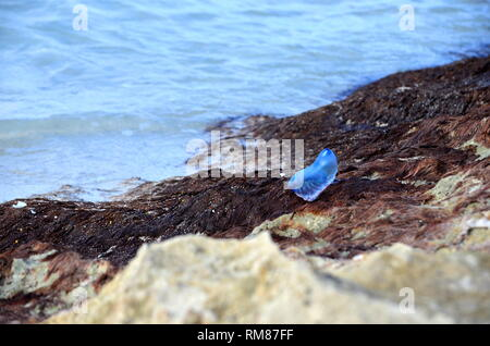 Atlantic Portuguese man-of-war (Physalia physalis) jellyfish-like marine hydrozoan with poisonous tentacles washed out on shore of Caribbean island. - Stock Photo