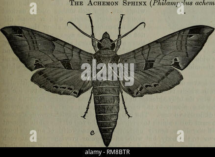 . Annual report - Entomological Society of Ontario. Entomological Society of Ontario; Insect pests; Insects. The Achemon Sphinx ackemori).. fFig. 42. In our report for 1872 we published a descrip- tion of this insect which is a very beautiful and attractive creature in the perfect or moth state (Fig. 42), and a very odd looking object as seen in the larval condition. Quite recently Dr. John H. Gamier, of Luck- now, Ont., has written us in reference to this insect, which he has found injuring his grape vines. He found sever- al of the larvae feeding on a Rebecca vine, for. Please note that thes - Stock Photo