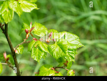 Twig with fresh young green leaves in spring. Leaves are highlighted by the sun. Blurred background, selective focus. - Stock Photo