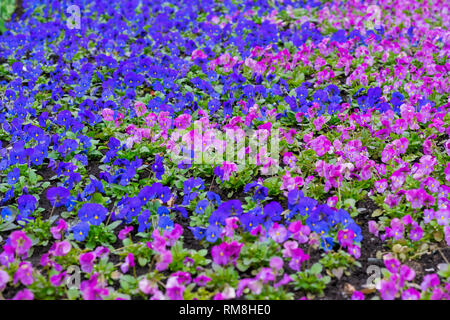Bright picturesque flowerbed, violet and pink flowers pansy on a sunny day. Natural scenic background - Stock Photo