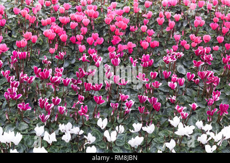 Trays of Hardy cyclamen flowers - Stock Photo