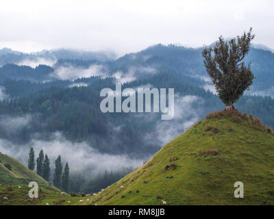 A lonely solitary tree, on top of a conical hill, mist rising from forest hills, Parapara Highway, Whanganui, New Zealand - Stock Photo