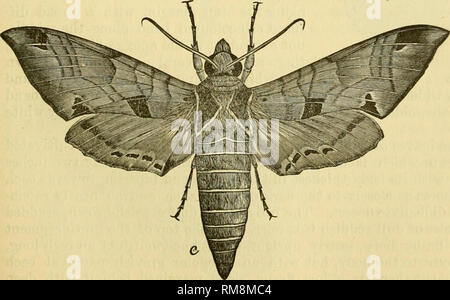 ". Annual report - Entomological Society of Ontario. Entomological Society of Ontario; Insect pests -- Periodicals; Insects -- Ontario Periodicals. ??'??""'I i<rcn'""^-^'""'' The Achemon Sphinx (Philampelus achemon).. SFig. 42. In our report for 1872 we published a descrip- tion of this insect which is a very beautiful and attractive creature in the perfect or moth state (Fig. 42), and a very odd looking object as seen in the larval condition. Quite recently Dr. John H. Gamier, of Luck- now, Ont., has written us in reference to this insect, which he has found injuring his grape v - Stock Photo"