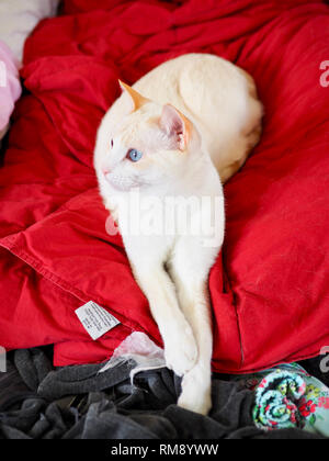 Mitzie the flame point Siamese chilling on the red blanket - Stock Photo