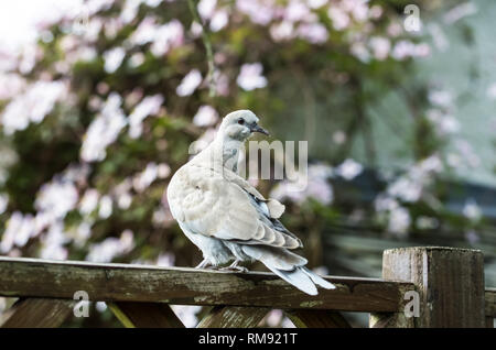 The young pigeon dovecloth sits on the fence. - Stock Photo