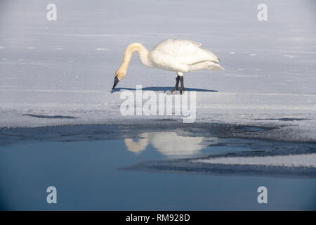 Trumpeter swan (Cygnus buccinator) in Yellowstone National park during the winter - Stock Photo