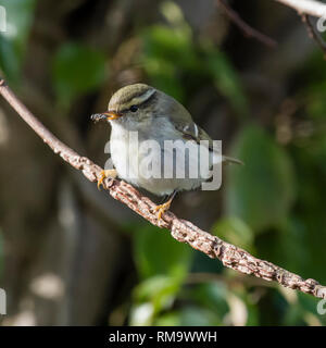 Cotswold Water Park, Gloucestershire, UK. 13th Feb 2019. A Yellow-browed Warbler, normally resident in Siberia, spotted in the Cotswold Water Park. Credit: Steven H Jones/Alamy Live News - Stock Photo