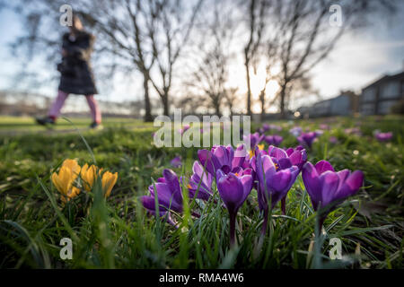 London, UK. 14th Feb 2019. UK Weather: Spring crocus flowers bloom in Deptford Park. Credit: Guy Corbishley/Alamy Live News - Stock Photo