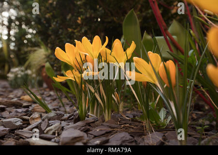 London, UK. 14th February 2019. Ducth Large Flowering crocus Golden Yellow AGM, flowering two to three weeks early in a suburban London garden, growing through purple slate with silvery stems. Credit: Joe Kuis /Alamy Live News - Stock Photo