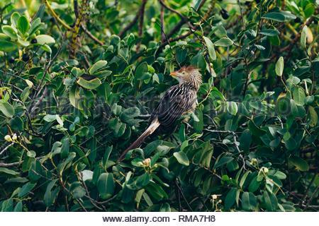 Guira guira or guira cuckoo. South american bird. - Stock Photo