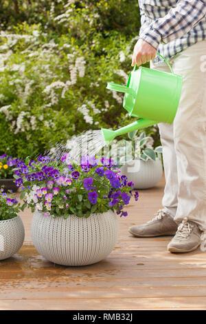man gardener watering pansy flowers in garden - Stock Photo