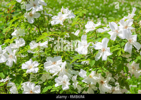 flowering bush of a rose blooming in white flowers. buds of roses were  blossoming on a bush in a garden - Stock Photo