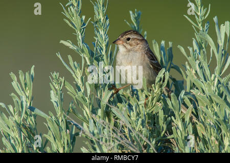 Brewer's Sparrow singing in the sage brush  Osoyoos British Columbia - Stock Photo