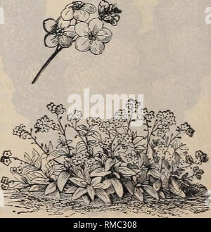 . Annual illustrated catalogue of seeds. Vegetables Seeds Catalogs; Flowers Seeds Catalogs; Gardening Equipment and supplies Catalogs; Commercial catalogs Ohio Cleveland. MIMULUS, TIGRIXUS. Handsome flowers of easy cultivation. Perennial in the greenhouse, annual in the open air. Mimulus, Mochatus (Musk Plant); cultivated on account of the musky odor of the leaves.. .10 Mimulus, Tigrinus (Monkey Flower); large, beautifully spotted flowers ; blooms first year. .10 MIRABILIS JALAPA. (Marvel of Peru)—See Four O'Clock. MOURNING BRIDE.—See Scabiosa. MUSK.—See Mimulus Mochatus. MYOSOTIS. ^Forget-me- - Stock Photo