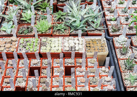 Many different cacti in flowerpots mix selling in flowers store, top view. Garden center with lot potted small cactus plants sale on flower market. Va - Stock Photo