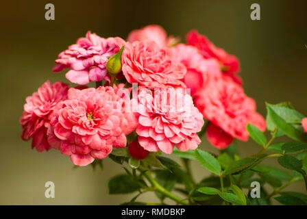 Beautiful pink rose against blurred background. Fresh summer flower blossoming in the garden. Floral background. - Stock Photo