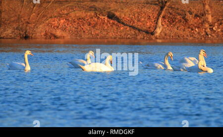 Swans on lake at sunset - Stock Photo