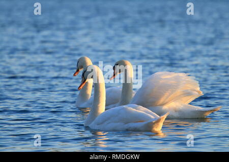 Swans on lake - Stock Photo
