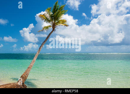 Palm tree falling in the turquoise water of  Caravelle beach, Saint Anne, Guadeloupe, French West Indies. - Stock Photo