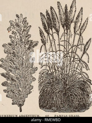 . Annual catalogue for 1881 containing a list of garden, field and flower seeds, together with prices and cultural directions. Seeds Catalogs; Seed industry and trade New York (State) Albany. STIPA PEXNATA. ERIANTHUS RAVE>-NJE. Nat. Obd. GRAMiNiE.. SYNERIUM ARGENTEUM, PAMPAS GRASS. Many varieties of the Ornamental Grasses are curious and beautiful: when dried and tastelully arranged with everlastine: flowers, they make very attractive winter bouquets; for this purpose they should be cut while fresh and green (before turning yellow), tied in small bunches and hung up in the shade. Thev are m - Stock Photo