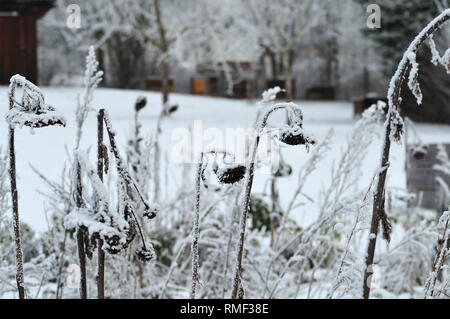 rime ice on wilted sunflowers in meadow on cold winter day - Stock Photo