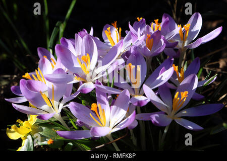 Hampton, UK. 15th February 2019. Crocuses in bloom in the warm Spring sunshine at Hampton in South West London where temperatures reached 15 degrees Celsius. Credit: Julia Gavin/Alamy Live News - Stock Photo