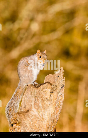 Aberystwyth, UK. 15th February 2019. A grey squirrel is foraging for food on an old tree stump in early morning sunshine. Credit: Phil Jones/Alamy Live News - Stock Photo