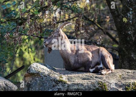 Male mountain ibex or capra ibex sitting on a rock - Stock Photo