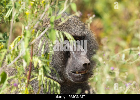 A male Olive Baboon, Papio anubis, peers out from behind a bush in Ngorongoro Crater, Ngorongoro Conservation Area, Tanzania - Stock Photo