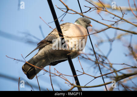 A woodpigeon, Columba palumbus, in February close to housing in North Dorset England UK GB sitting on telephone wires. The woodpigeon can be an agricu - Stock Photo