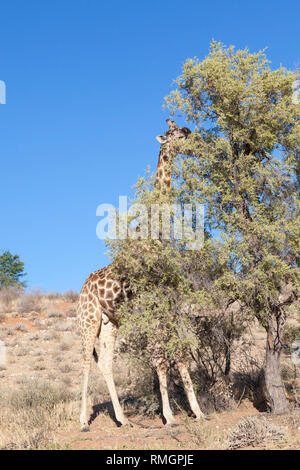 Male giraffe, Giraffa camelopardalis, browsing on an acacia tree in the dry riverbed of the Auob River, Kgalagadi Transfrontier Park, Northern Cape, S - Stock Photo