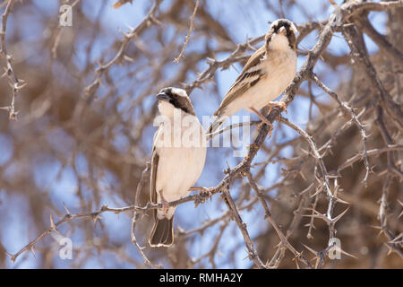 Two White-browed sparrow weavers, Plocepasser mahali, Kgalagadi Transfrontier Park, Northern Cape, South Africa, perched in a camel thorn tree, Acacia - Stock Photo